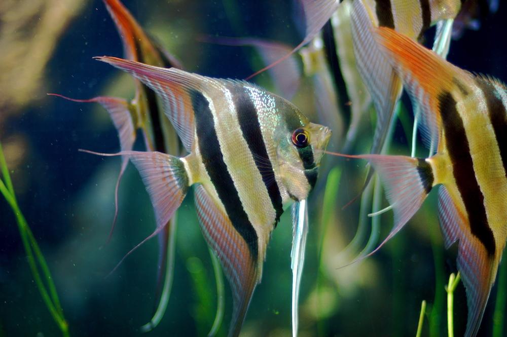 Brazil, Negara Penghasil Ikan Eksotis Paling Terkenal